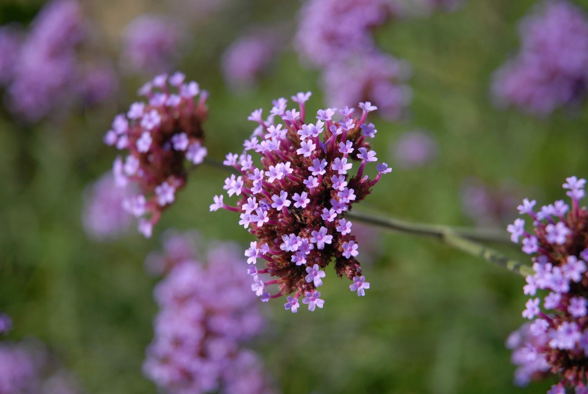 Verbena 'Purple Top'