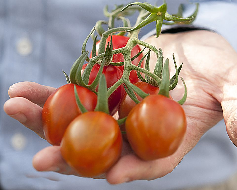 Hand holding freshly picked tomatoes