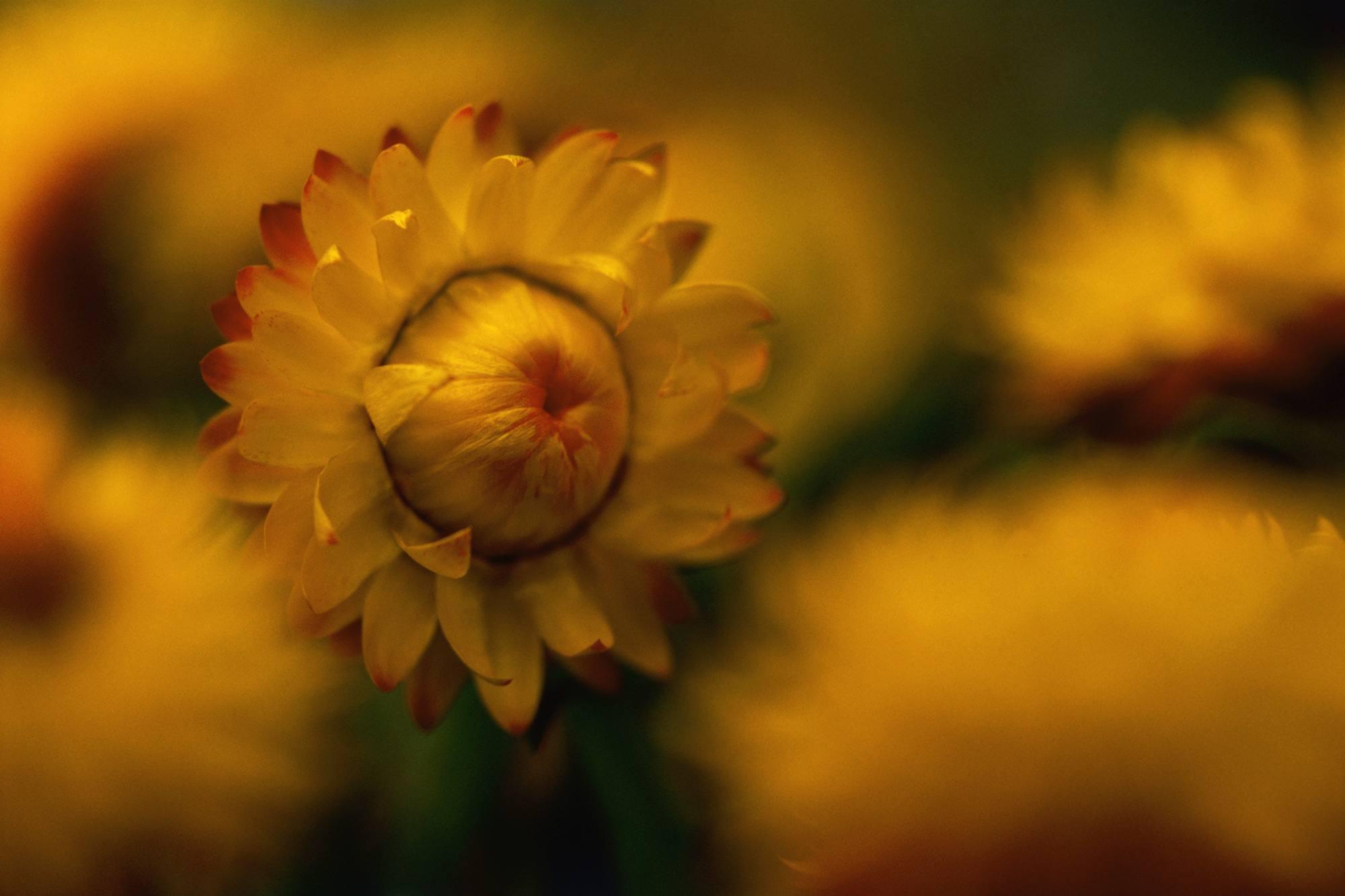 Close up of Helichrysum var. helibrayel (strawflower), June
