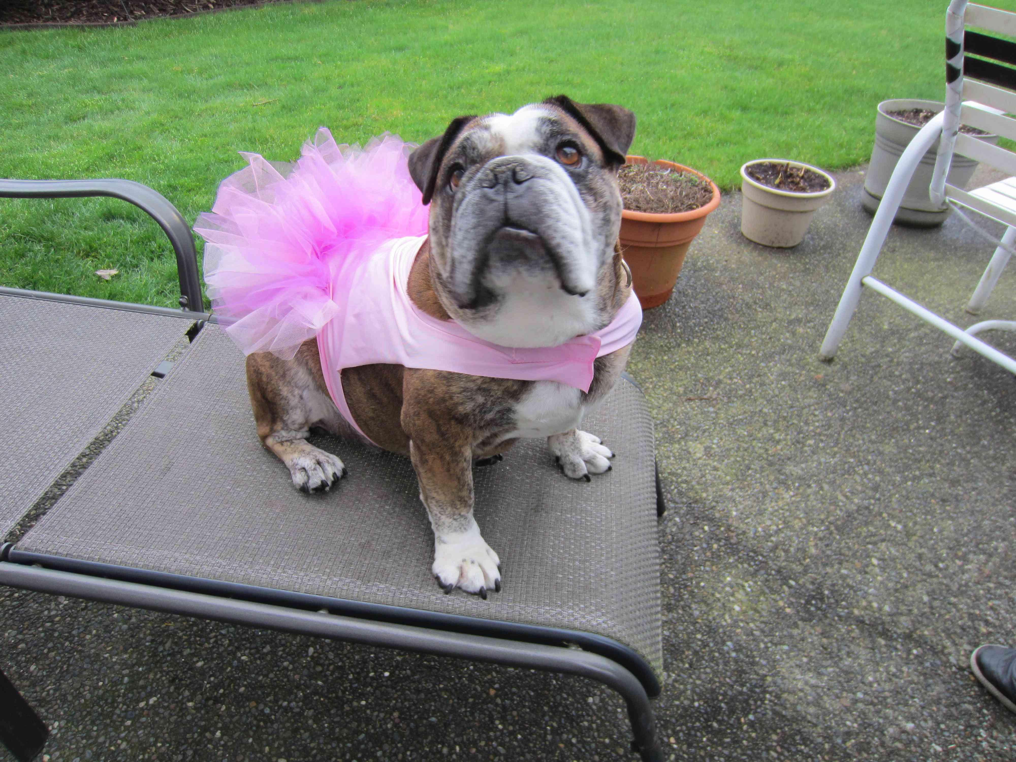 Dog dressed in a tutu