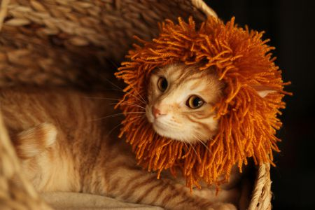 afa0c0053 A cat dressed as a lion for Halloween.
