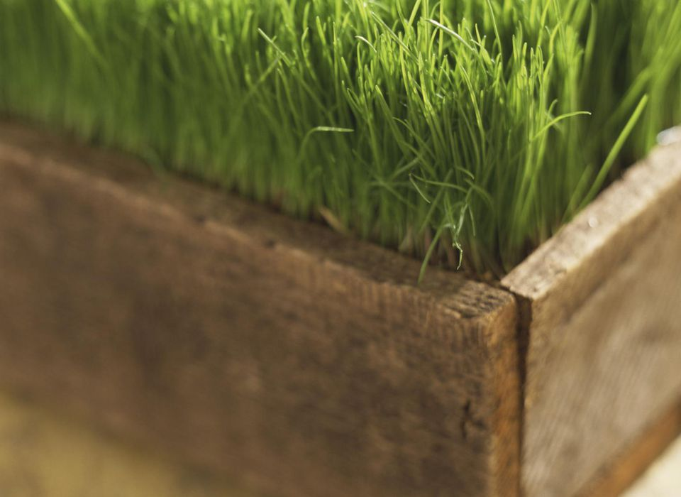 Wheatgrass in wooden planter