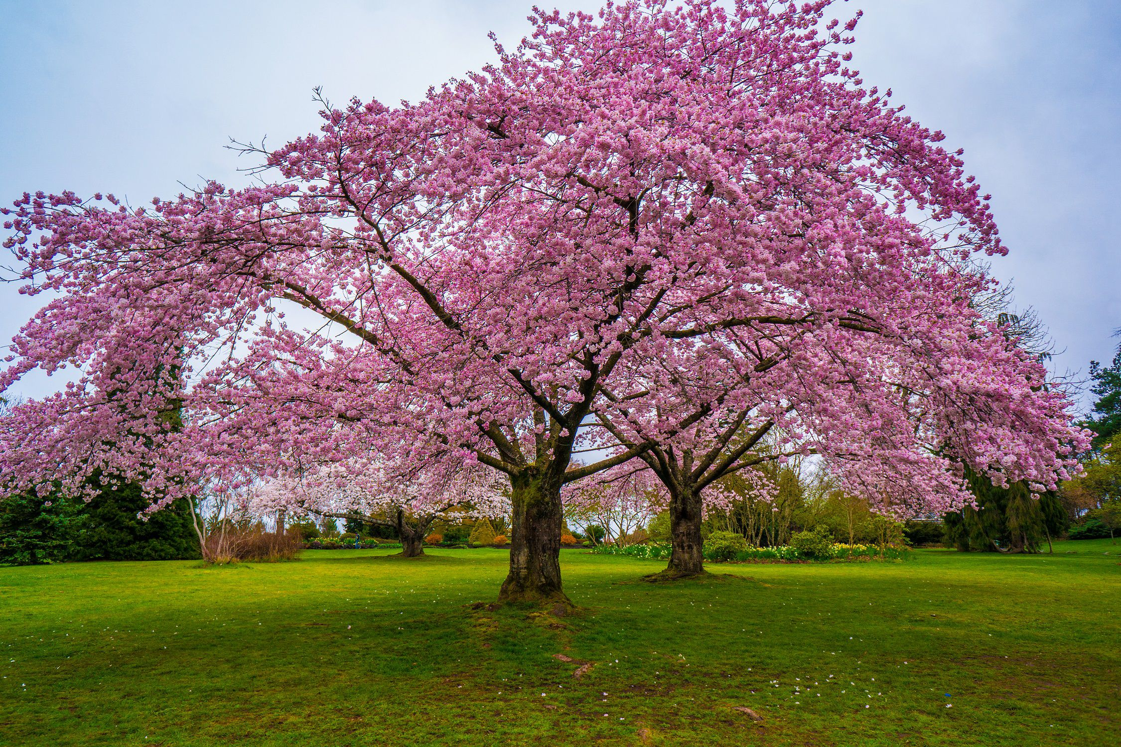 cherry tree in the grass