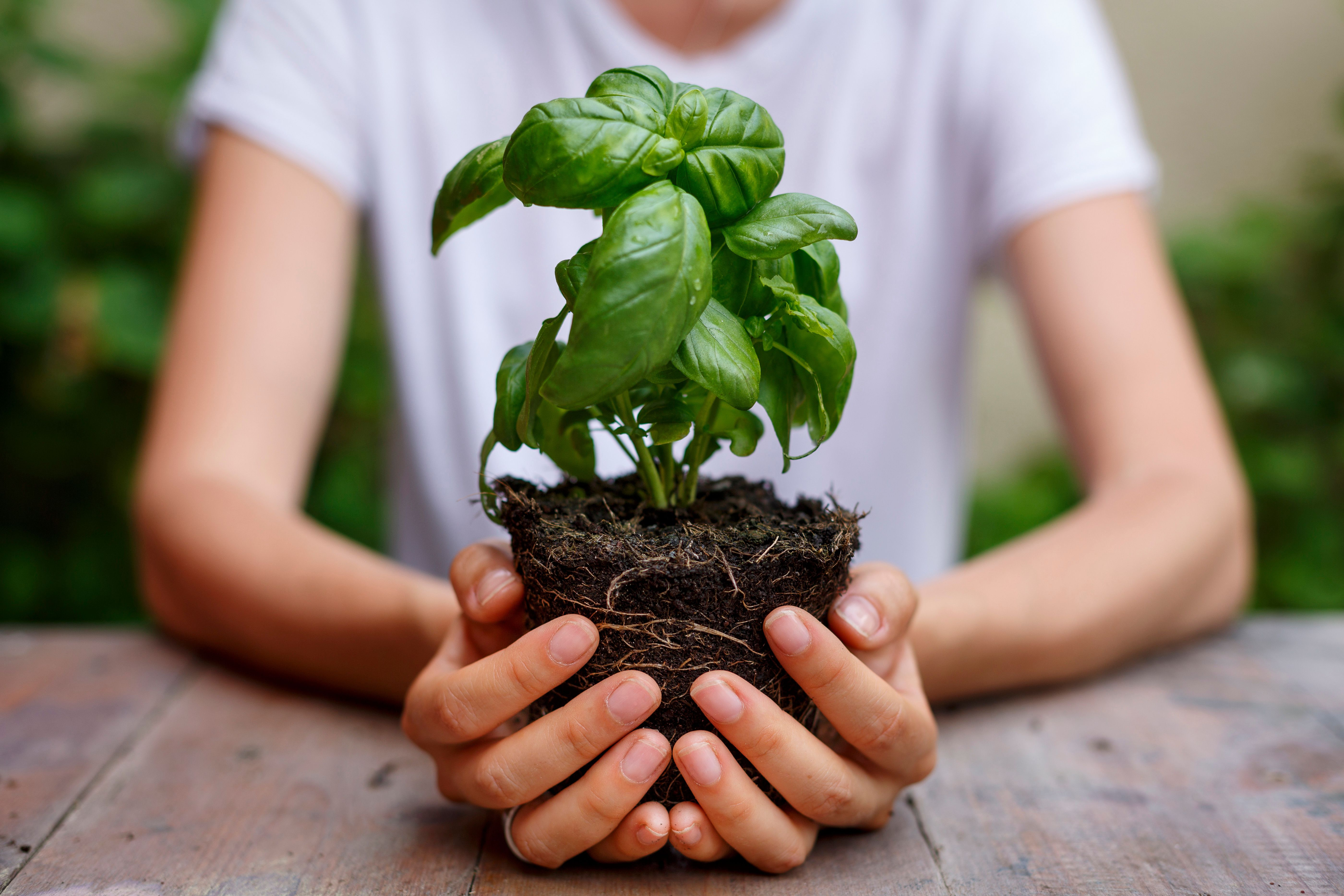 Hands holding a basil plant