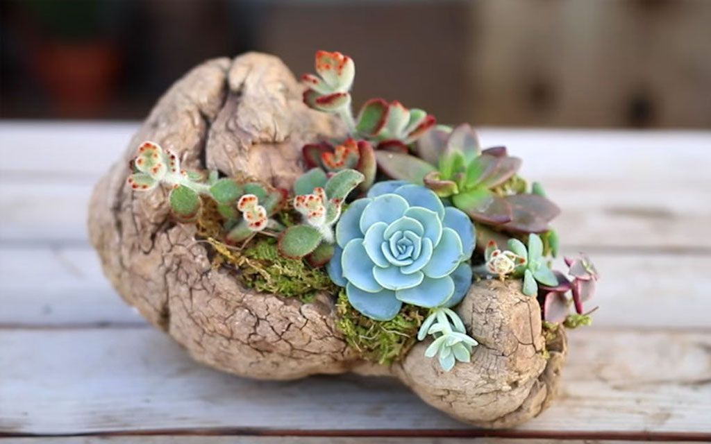 Driftwood planter adorned with succulents, including a bold blue one.