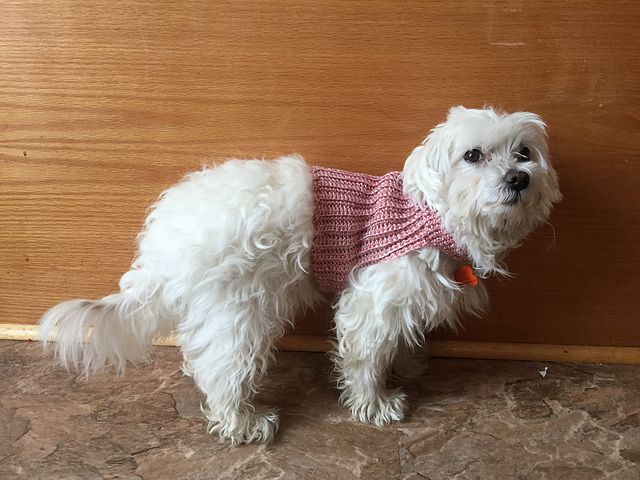 Small white fluffy dog in a pink crochet sweater vest