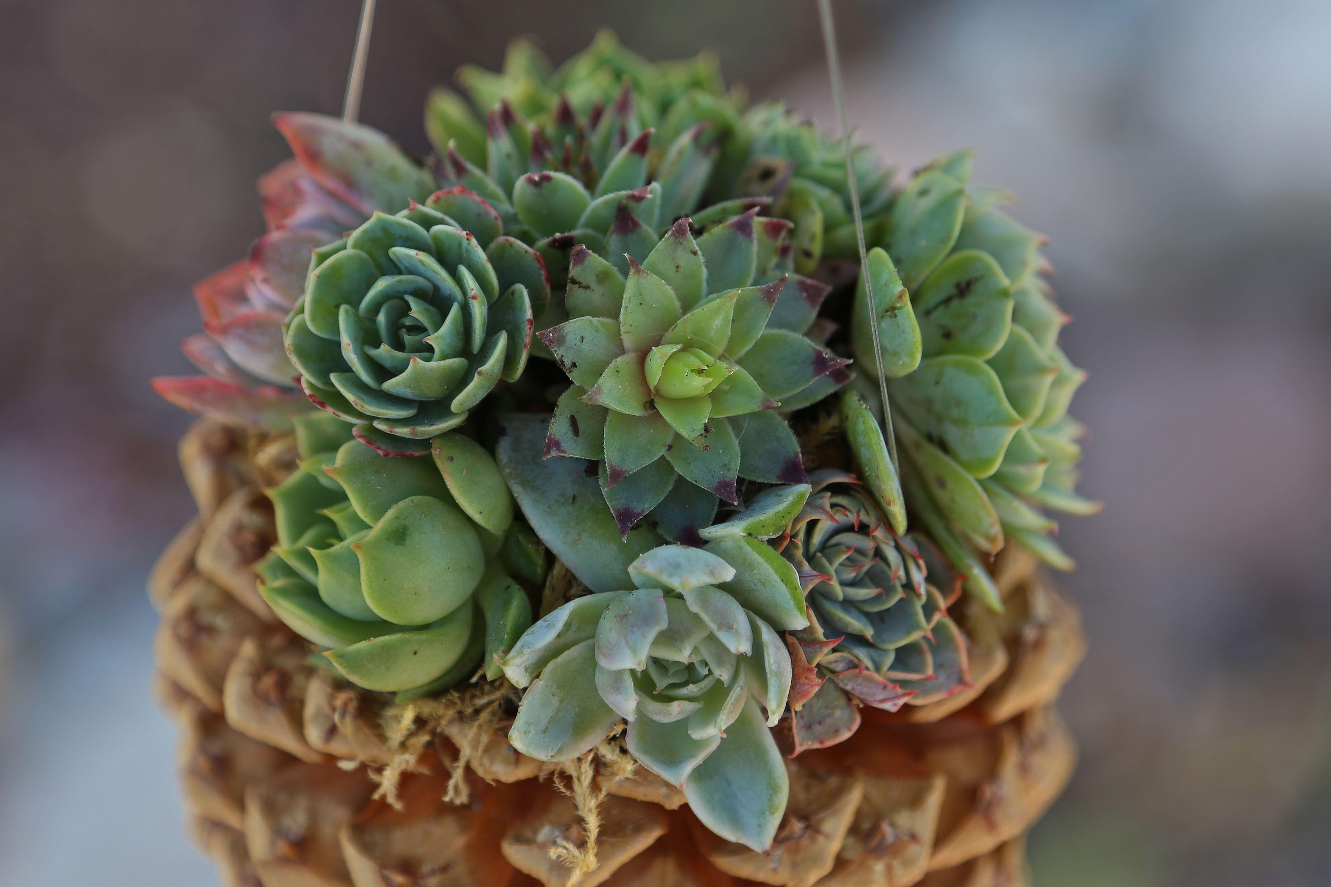 Pine cone DIY planter