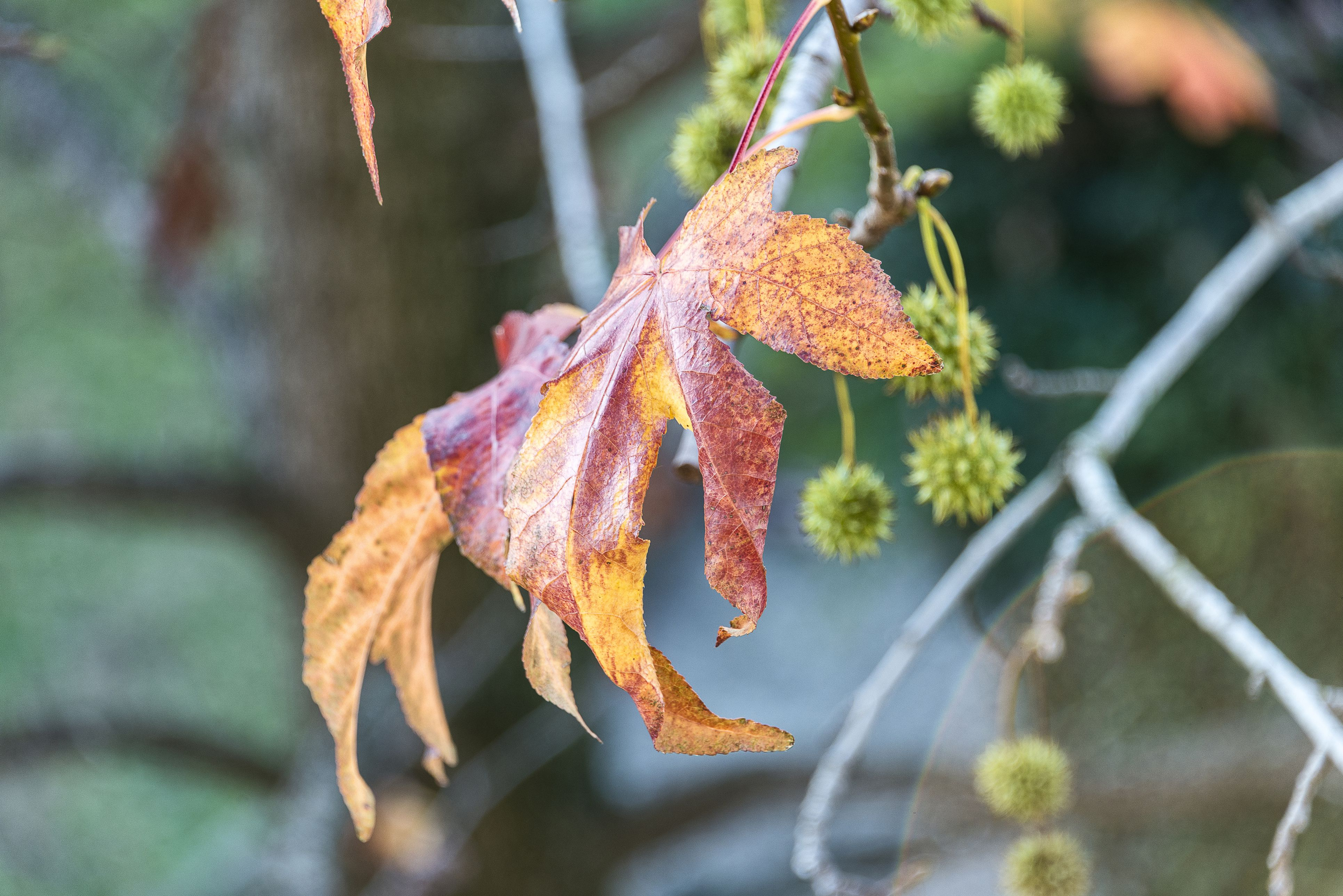 autumnal sweet gum leaves close up