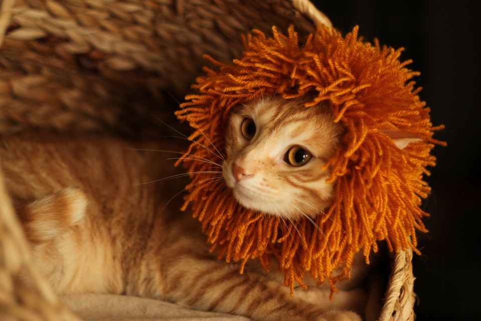 A cat dressed as a lion for Halloween.