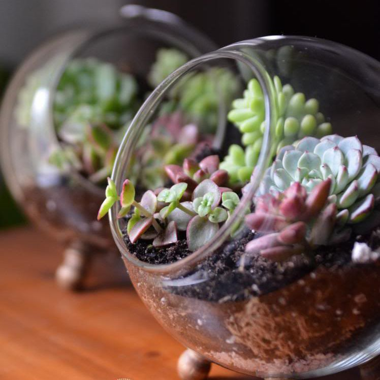 Globe-shaped succulent terrarium