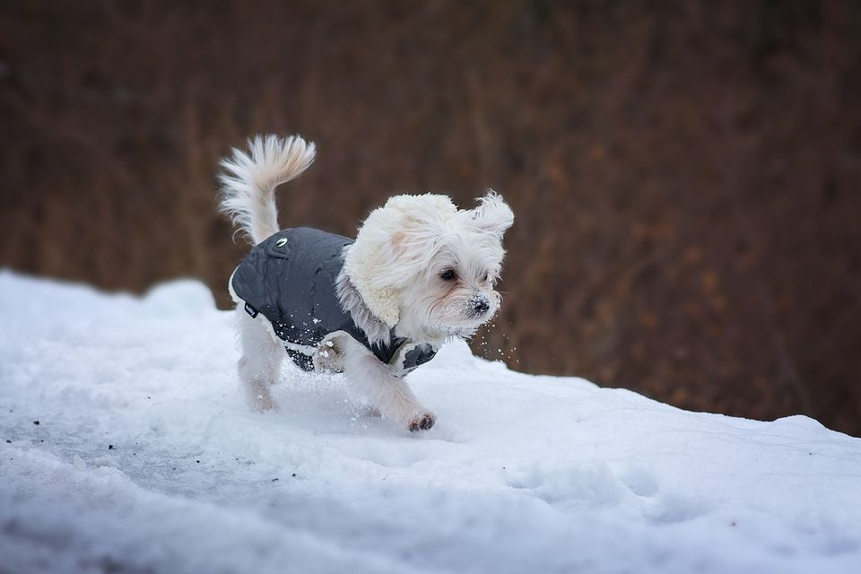 Free Sewing Pattern for a Warm & Weatherproof Dog Coat