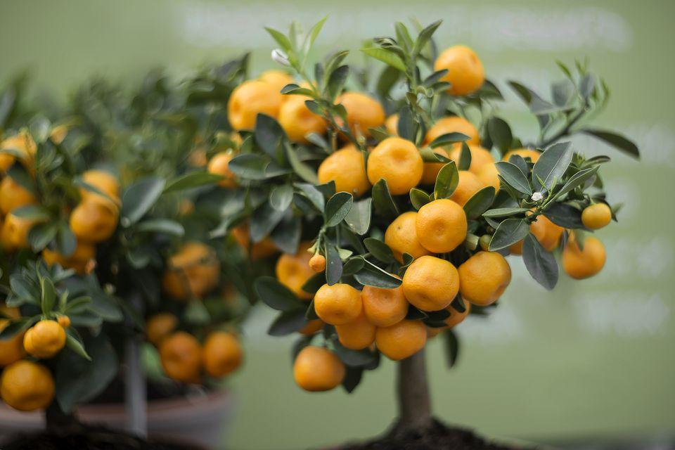 Home gardening. Decorative tangerine tree covered with orange fruits