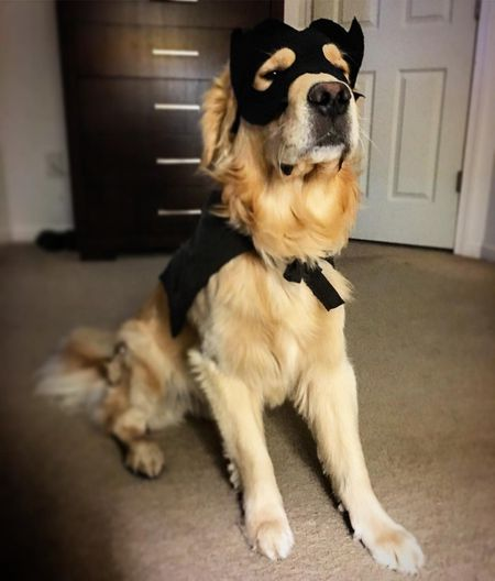 bat man dog costume