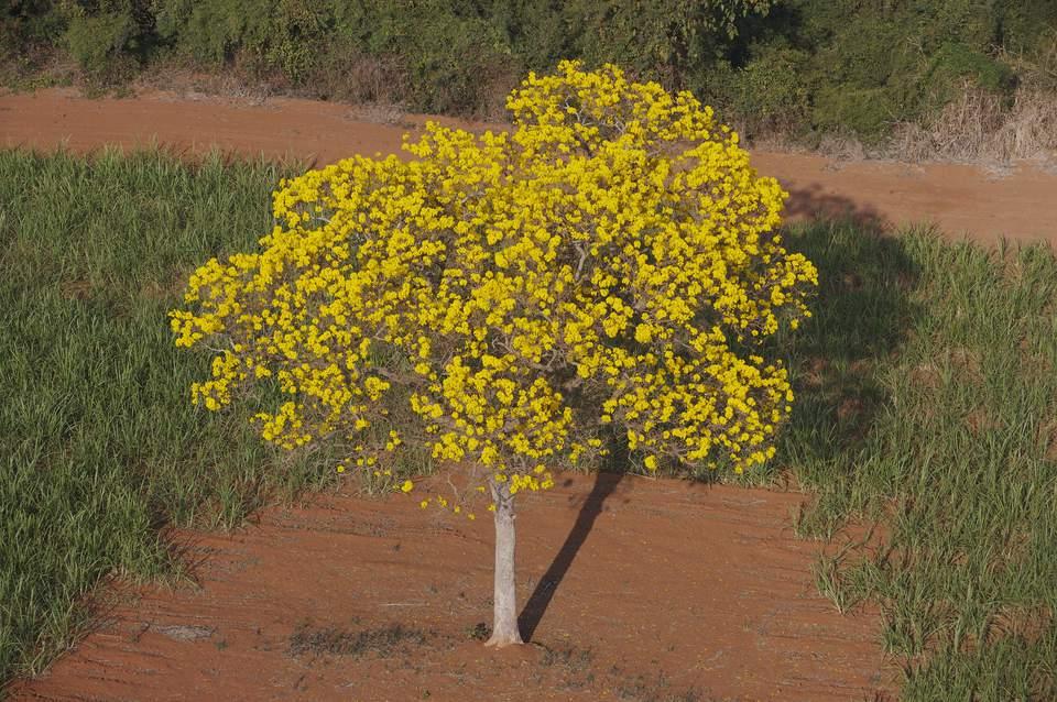 Yellow Ipê Tree