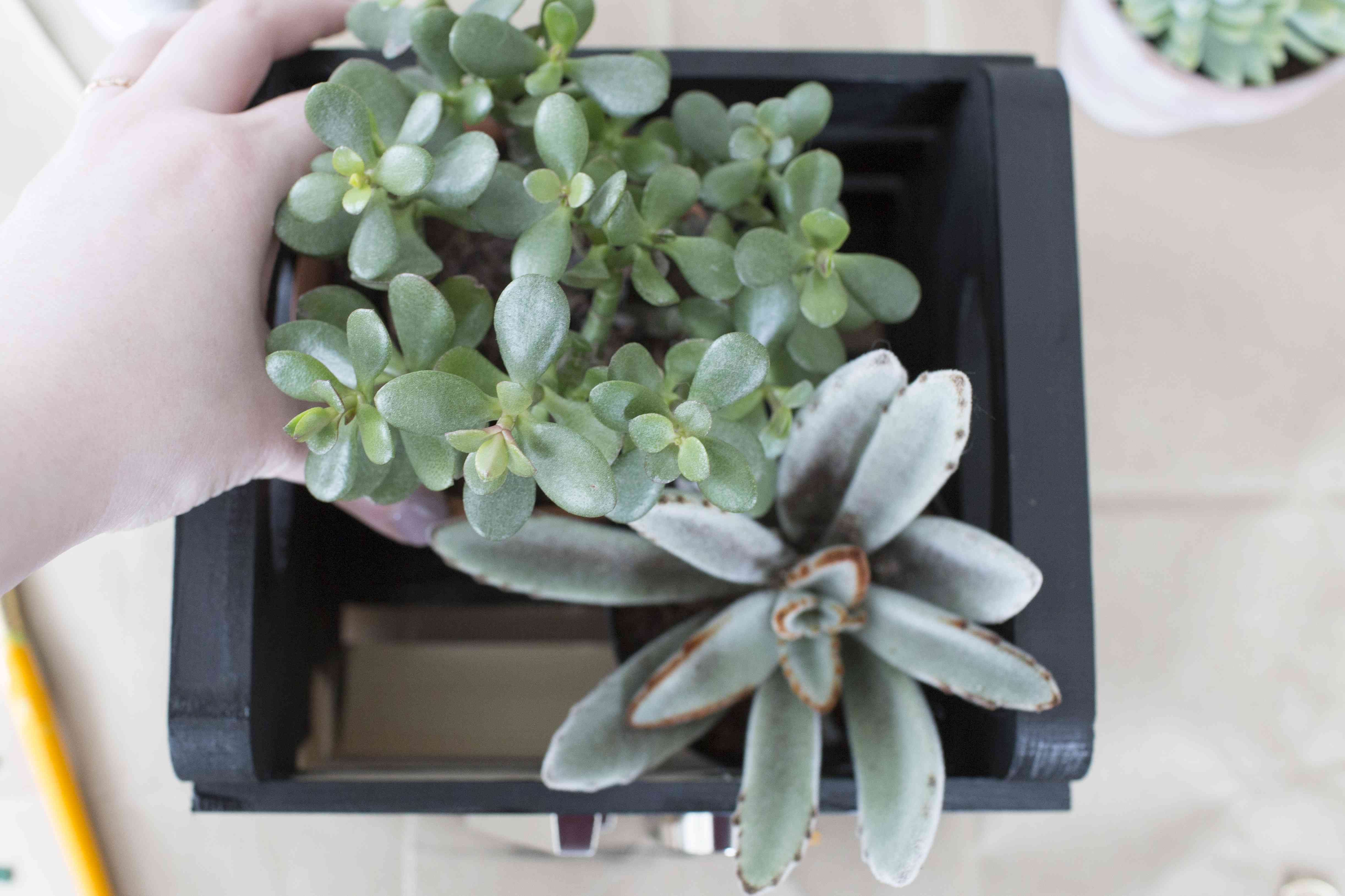 A hand placing succulents into a small black painted wooden crate