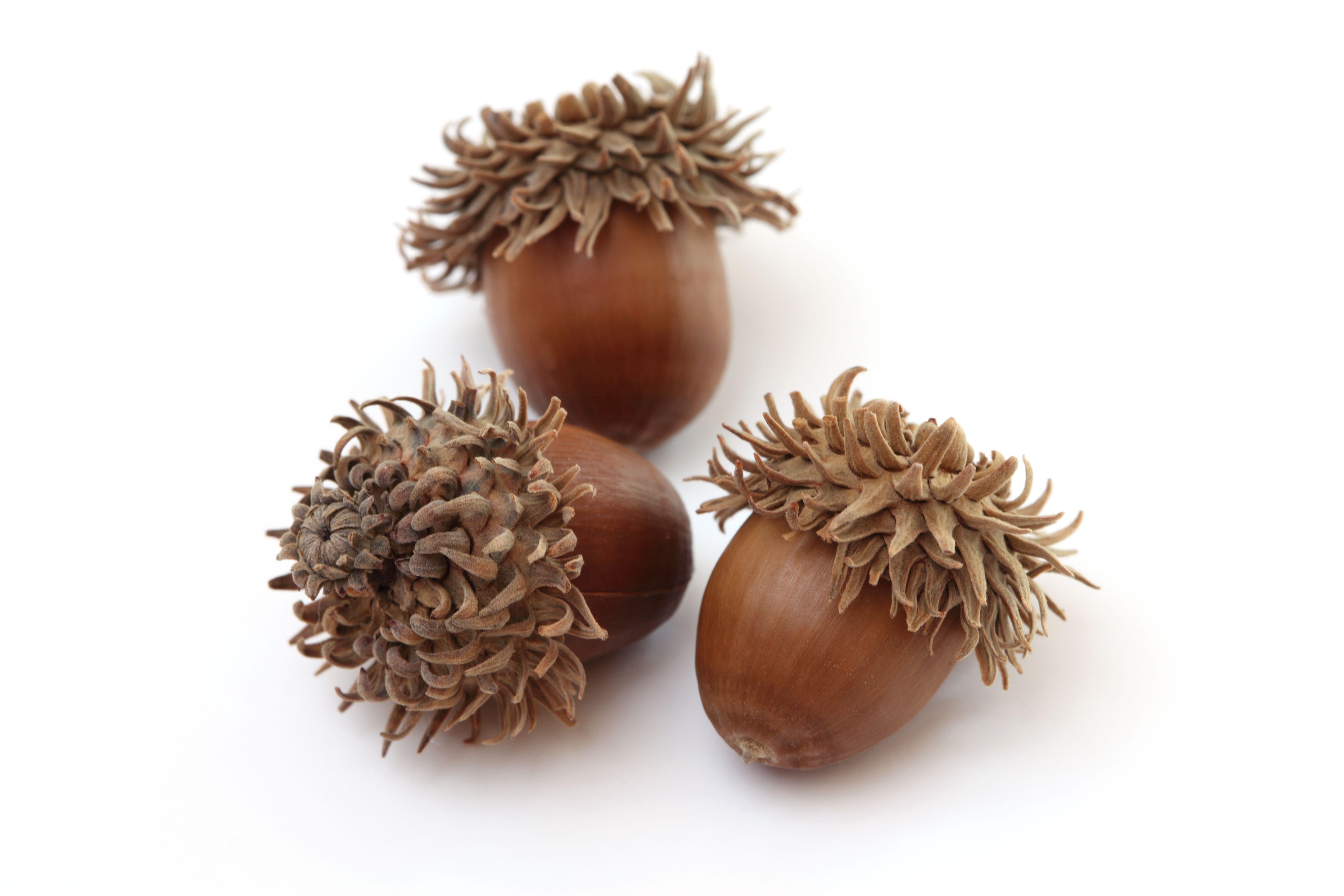 sawtooth acorns