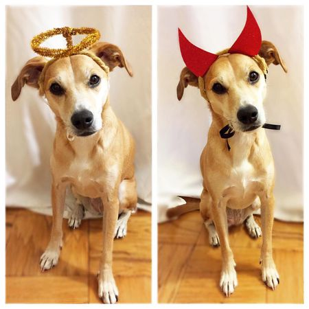 devil angel dog costume