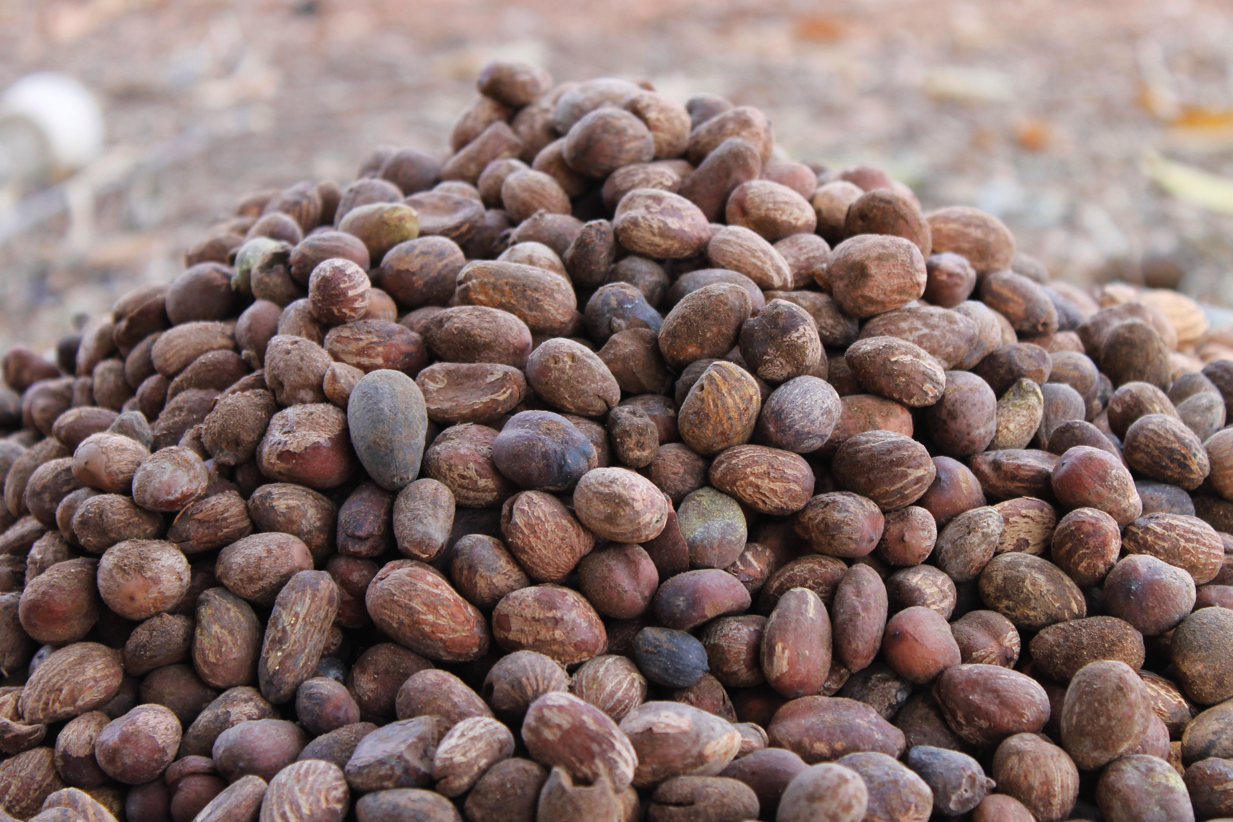 The seeds of shea butter