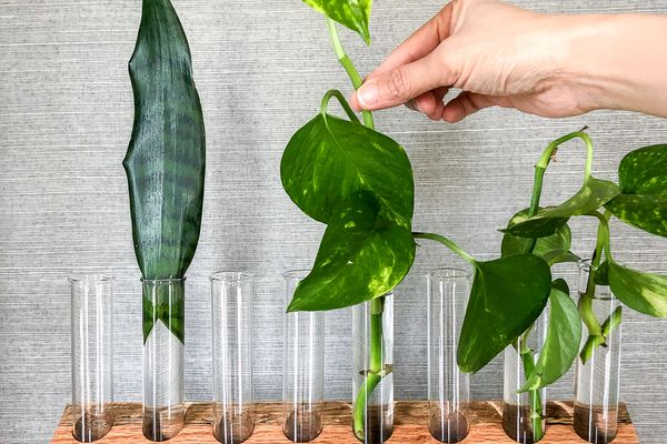 Leafy green plants in test tubes in a wood holder.