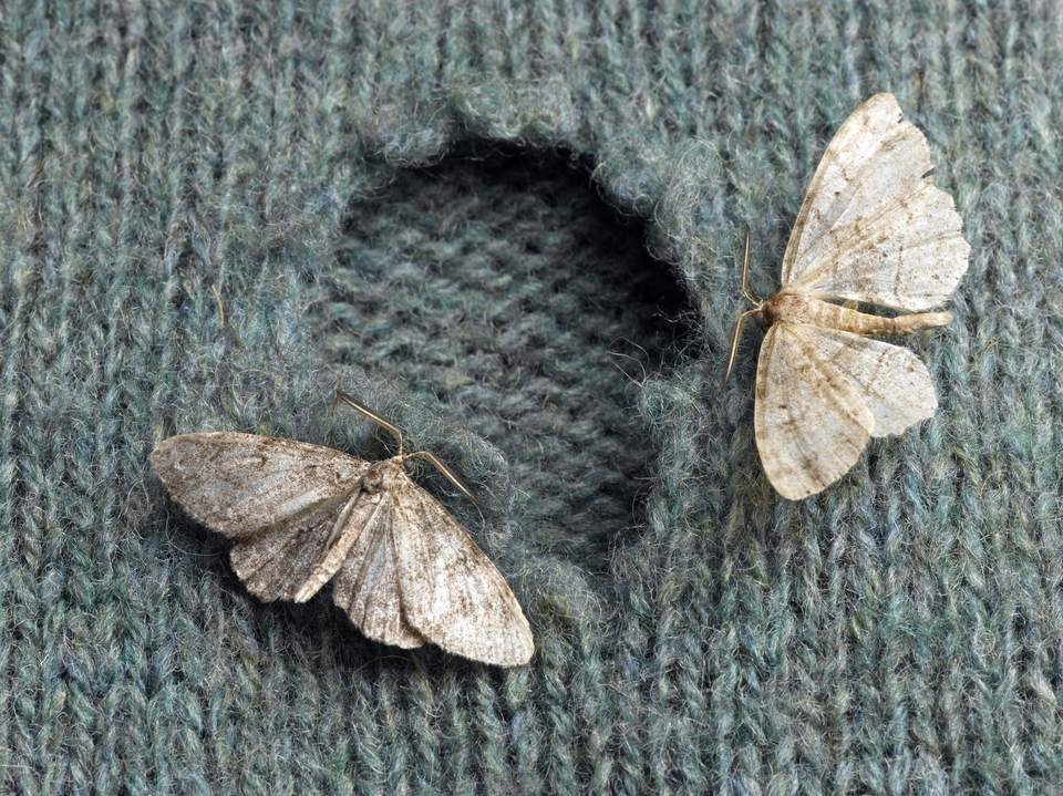 Moths on a wool sweater