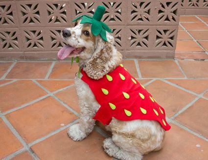 DIY strawberry dog costume