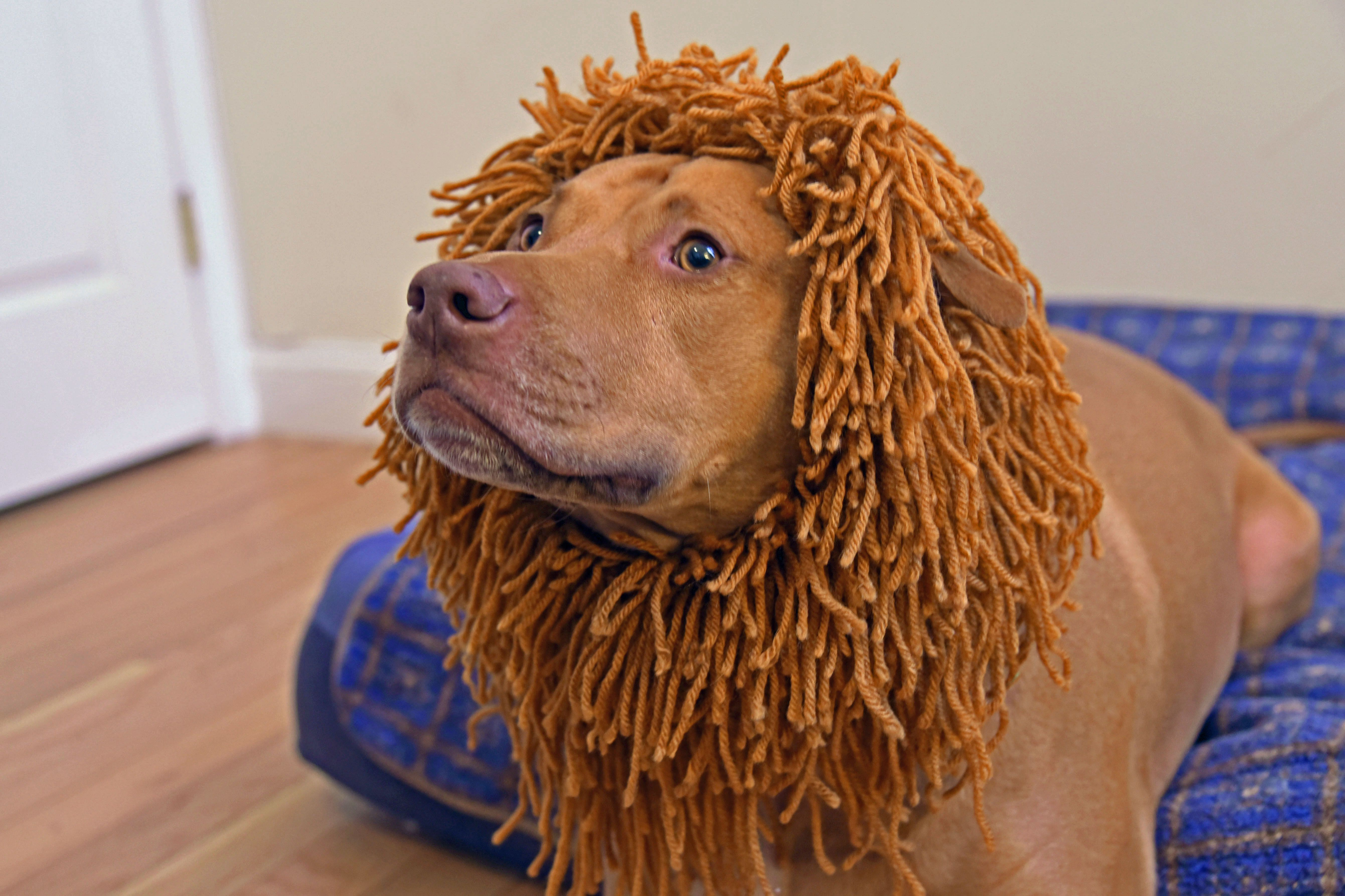 2a903602e How to Make a Lion Costume for Your Dog