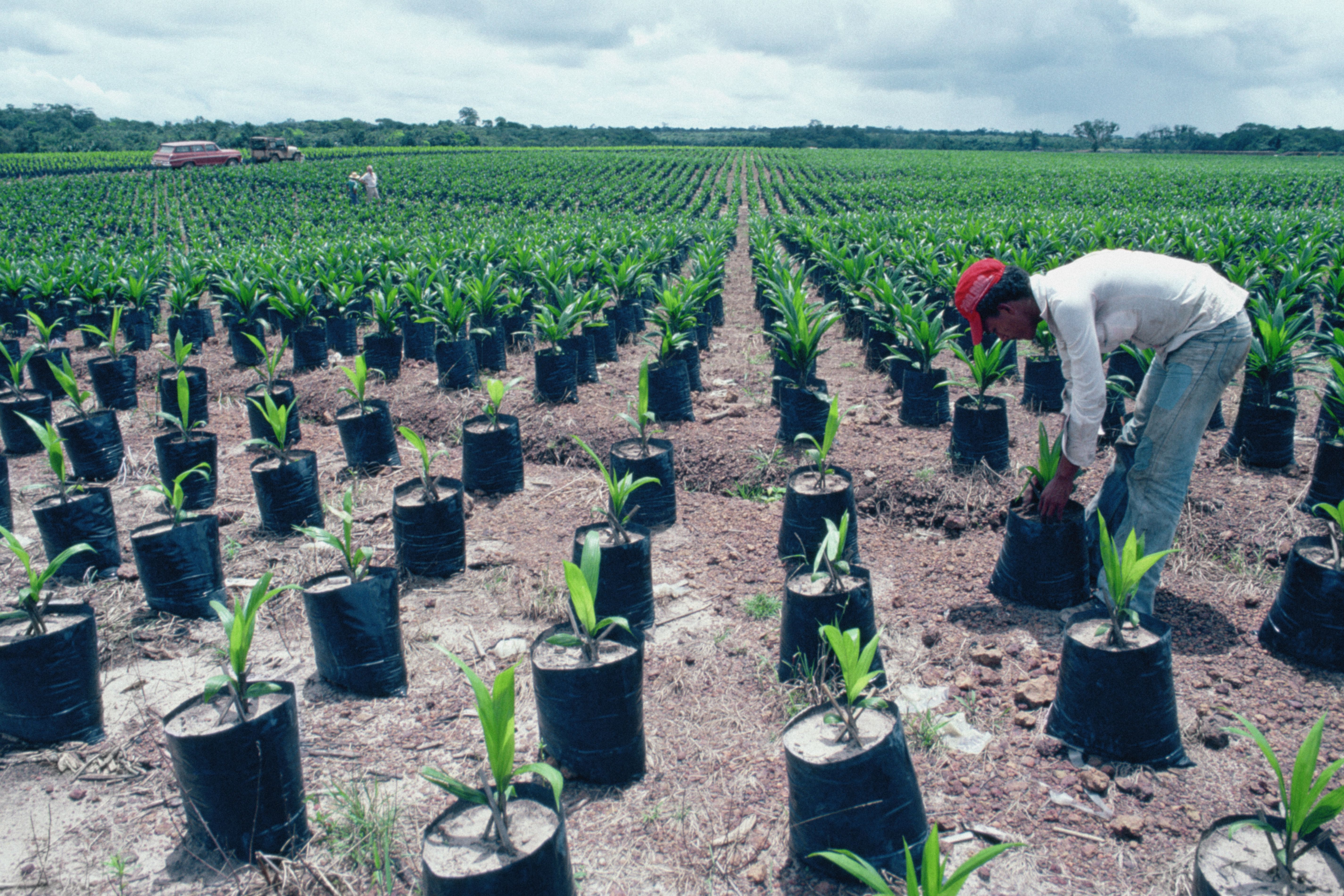 Palm oil farm, Belem, Brazil