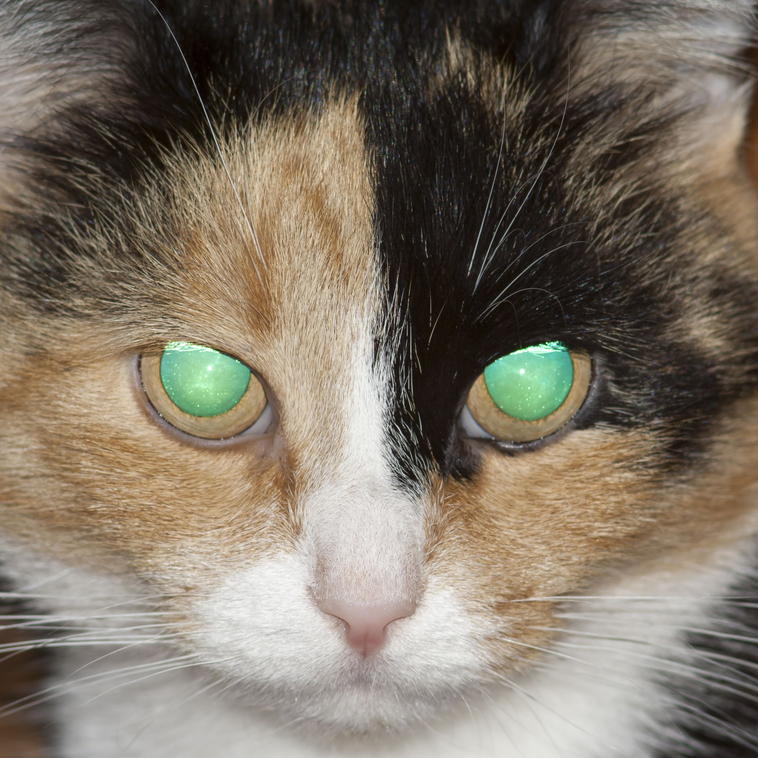 What Causes Green Eye In Animal Photographs