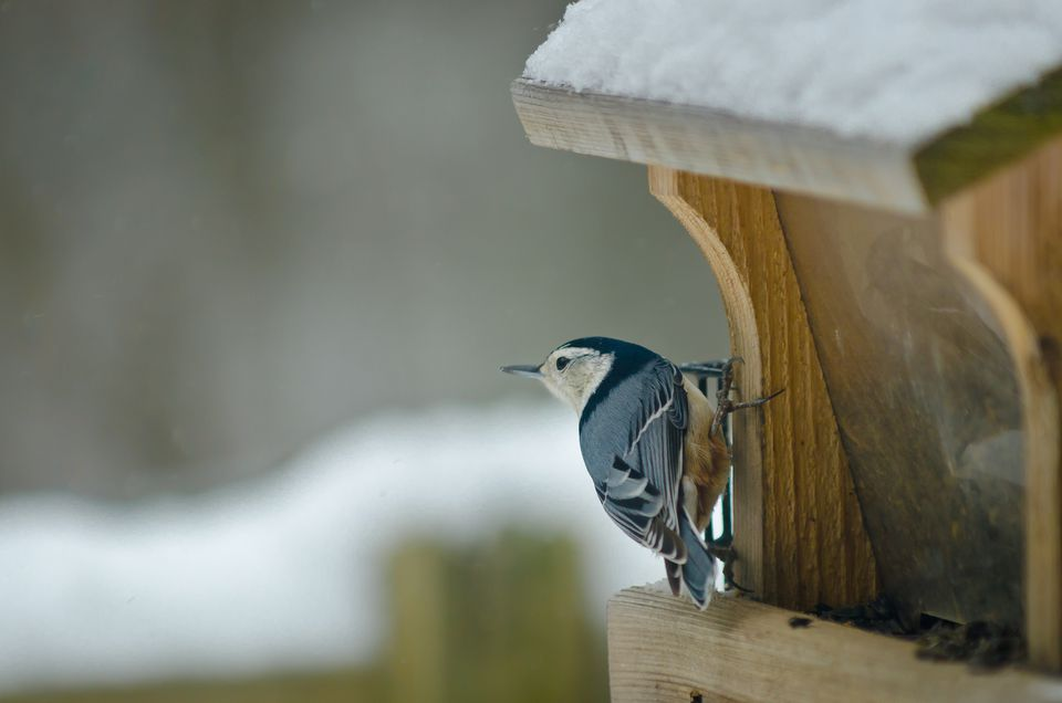 White-breasted Nuthatch at bird feeder