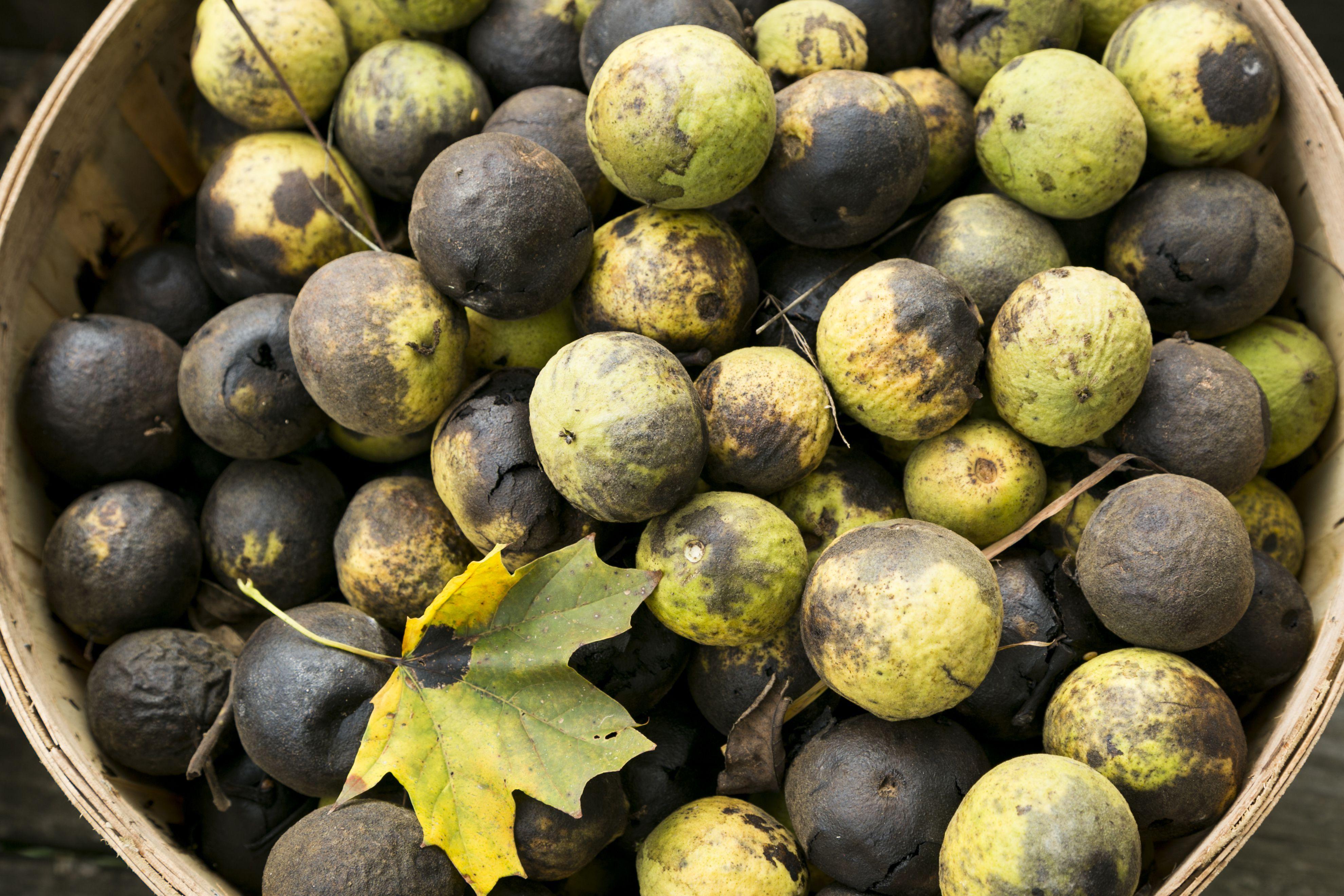 Butternut Seeds