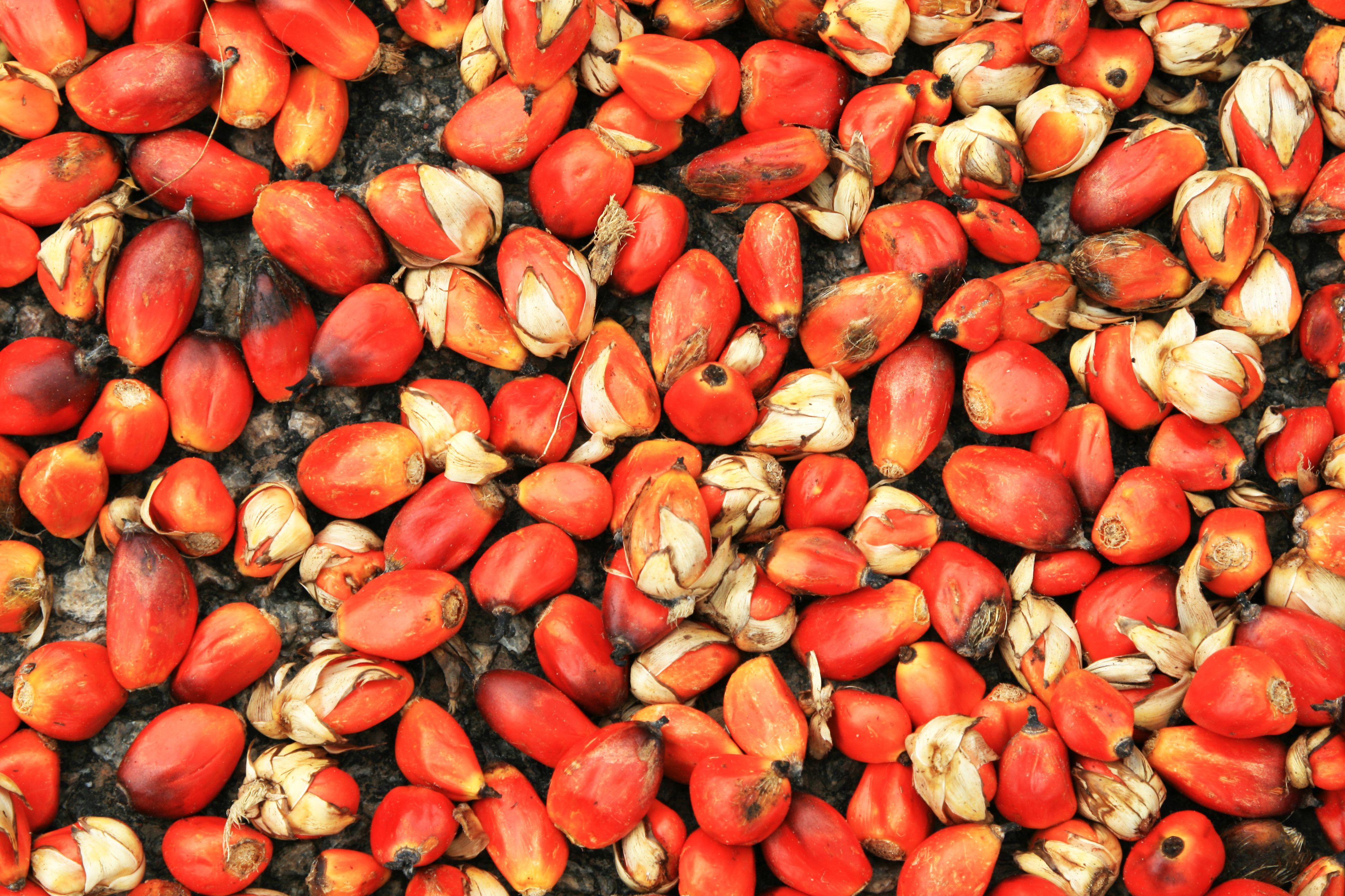 Oil Palm Seeds