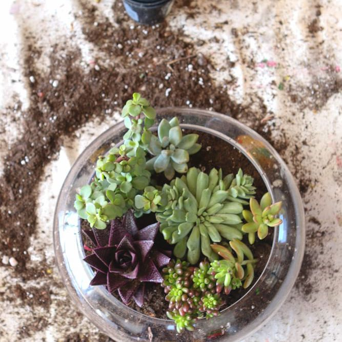 A succulent terrarium sitting on a white background with dirt all around it