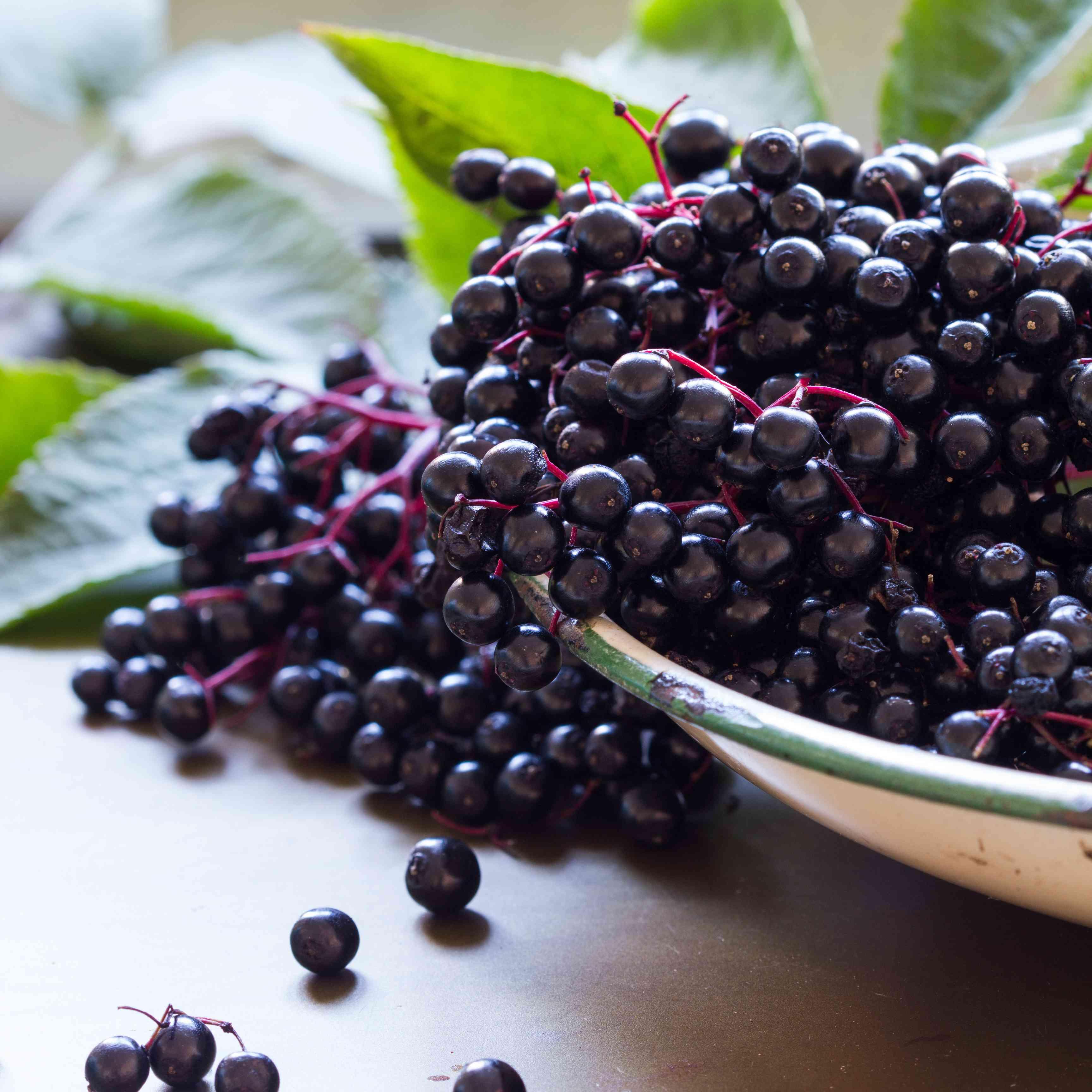 Black elderberries, Sambucus nigra, in enamel bowl. Vertical, copy space
