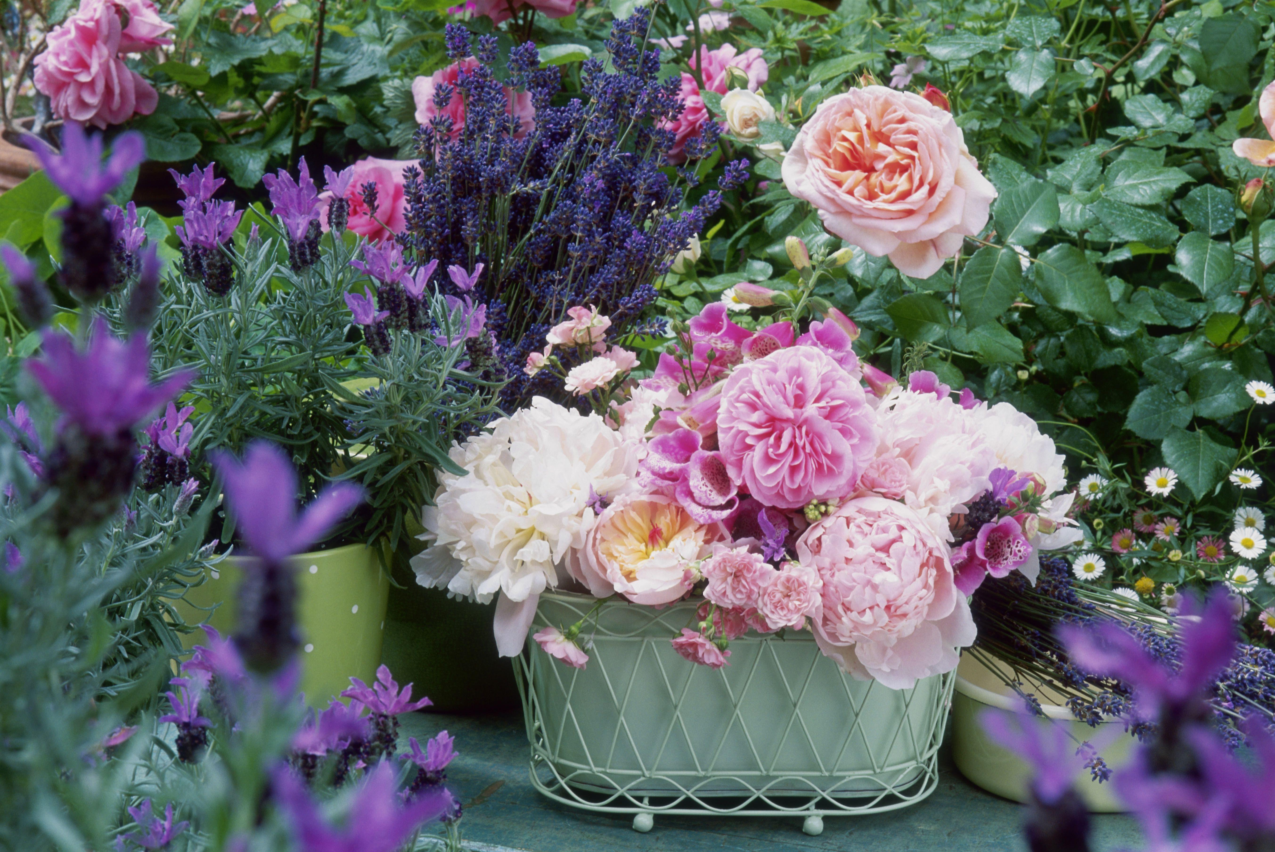 Roses Lavender