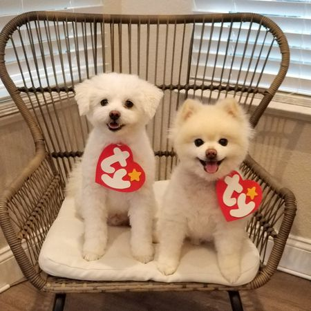 available maltese puppies for sale source 25 adorable diy dog costumes for halloween