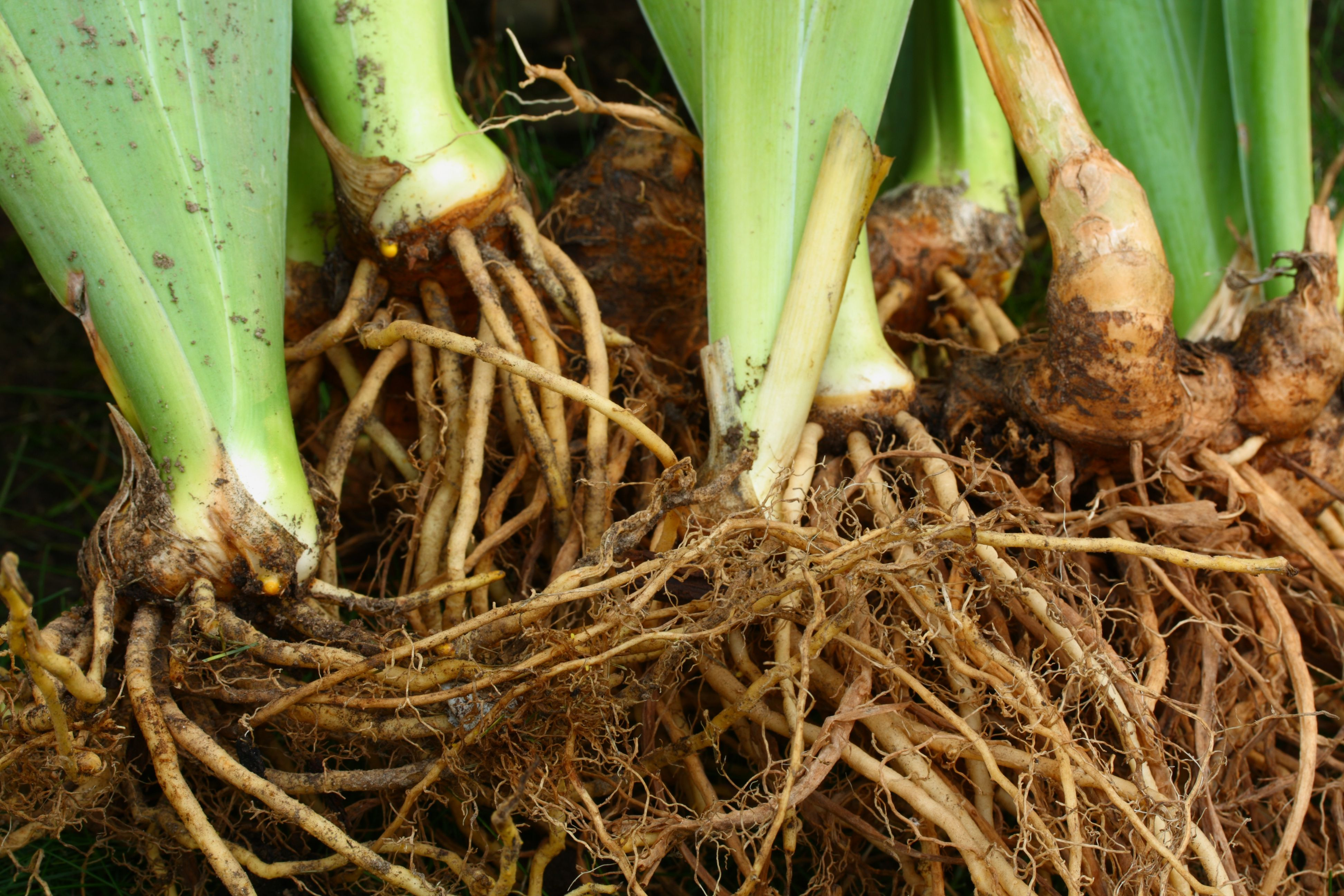 Iris Roots, Stems, and Leaves