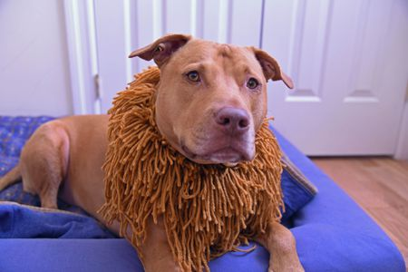 alternative lion costume dogs