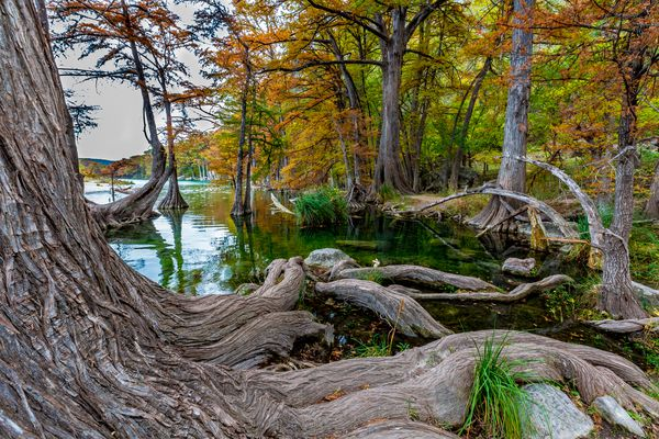 Big Cypress Trees with Huge Roots at Garner State Park, Texas