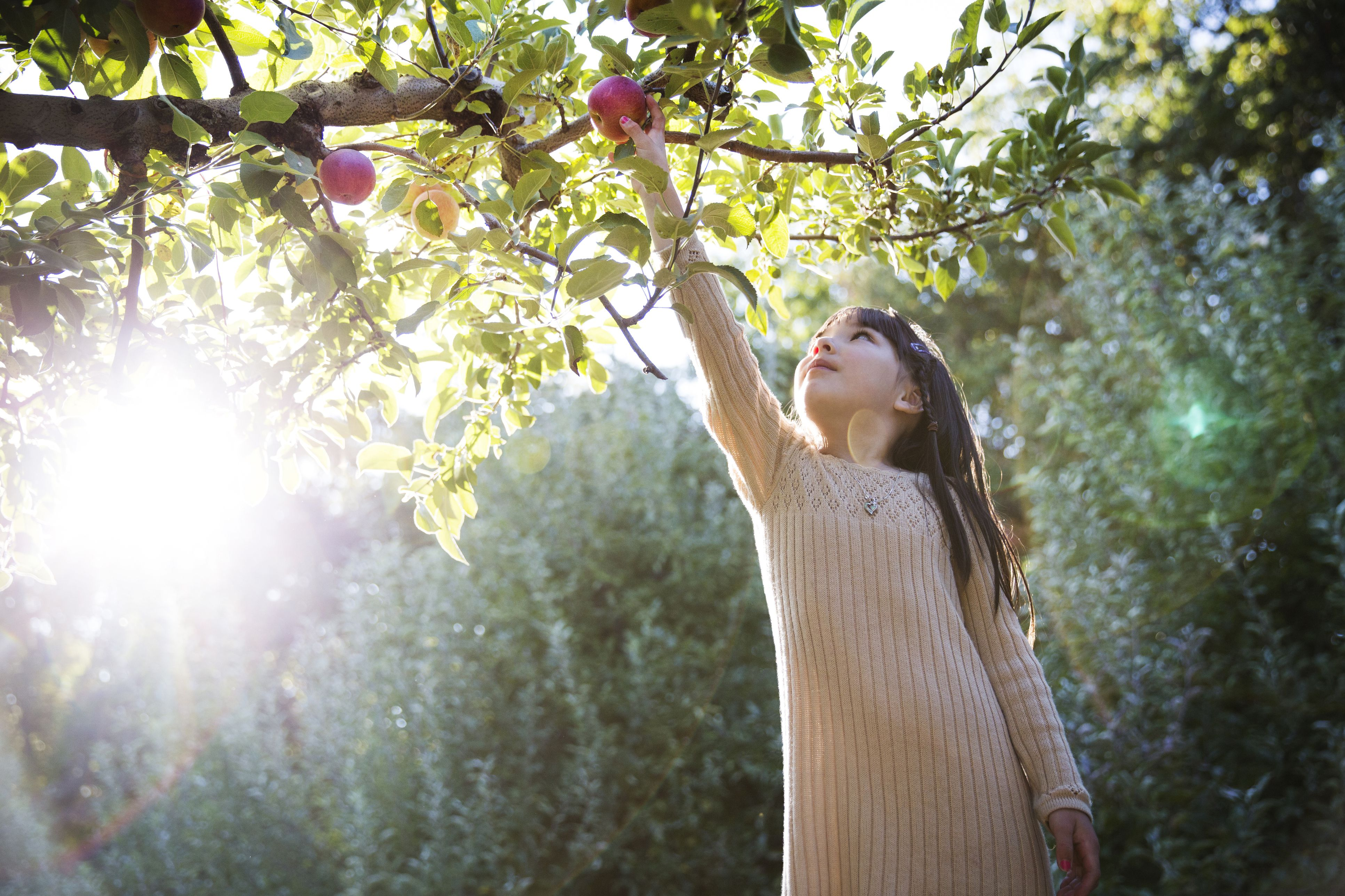 Girl picking apple while harvesting in orchard