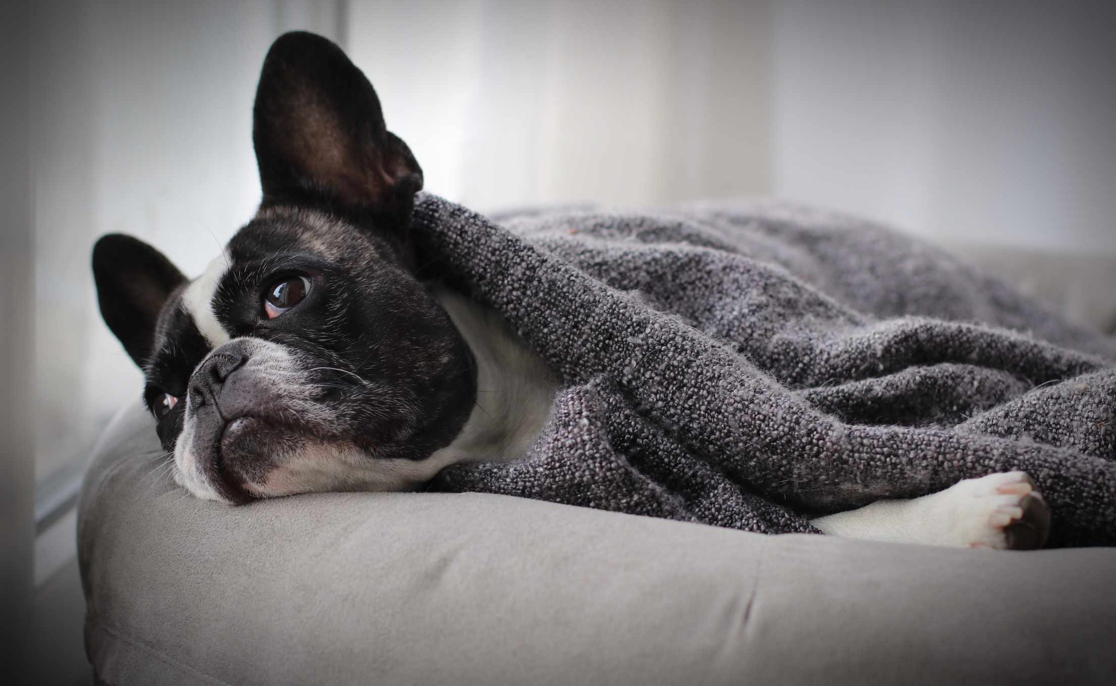 Puppy under bedspread